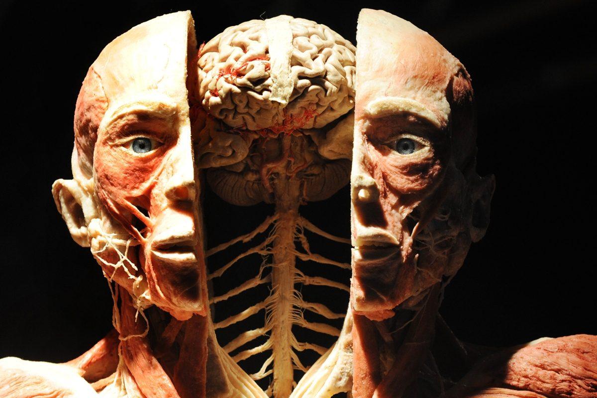 mam-e mostra REAL BODIES CADAVERI E ORGANI IN MOSTRA A MILANO muscoli