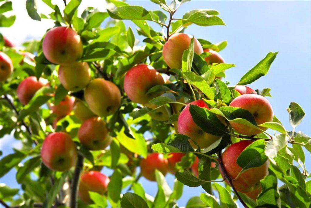 Mame food GUSTOSE, SUCCOSE, DELIZIOSE, PROFUMATE, BENEFICHE MELE albero di mele